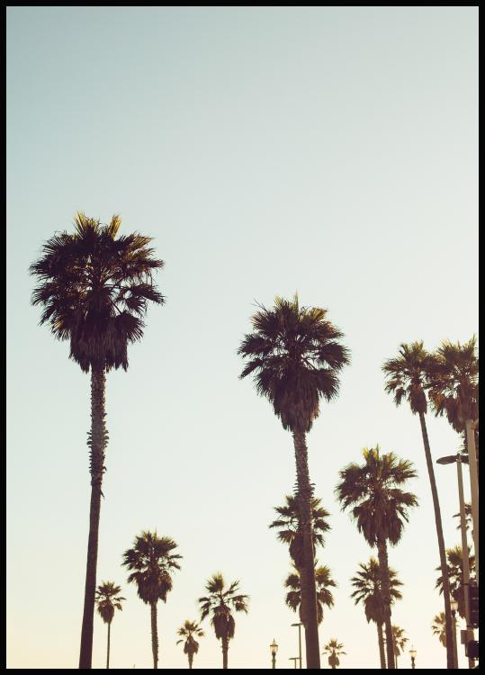California Palms Poster